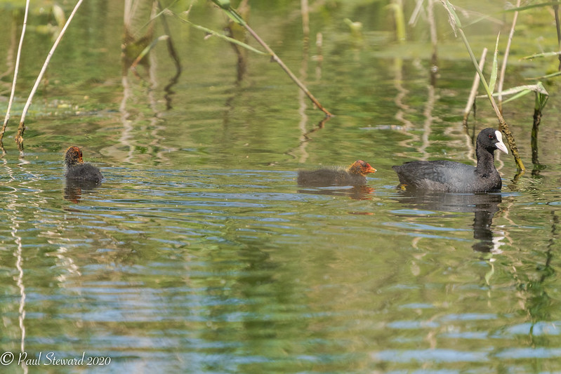 Coots - Stodmarsh NNR - May 2020