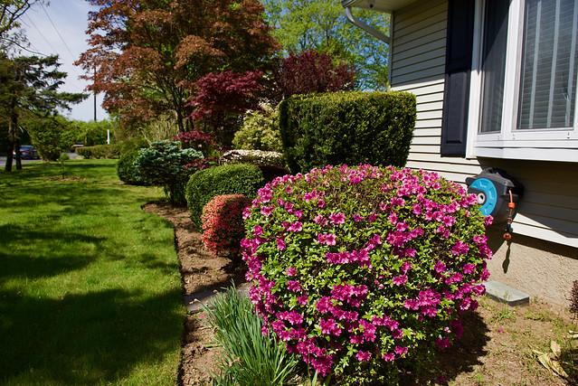 Azaleas in bloom!