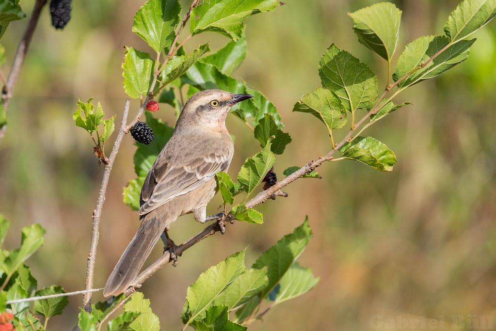 Chalk-browed Mockingbird - sabiá-do-campo (Mimus saturninus)