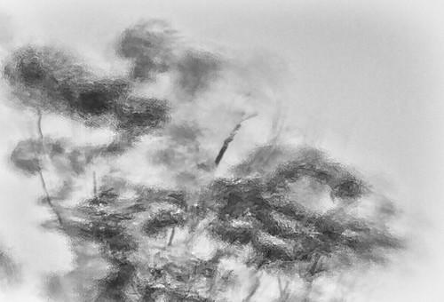 wind blown trees  7239 (philip hayman)