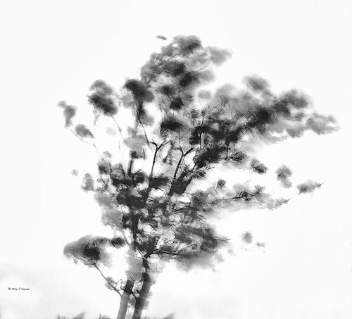 wind blown tree  7243 (philip hayman)
