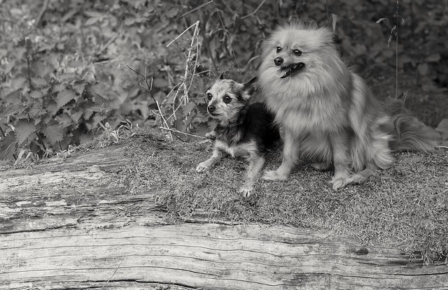 Beanz the Miniature Yorkshire terrier and Boo the Pomeranian.