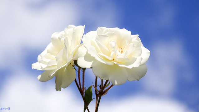 Les Roses Blanches - 8472