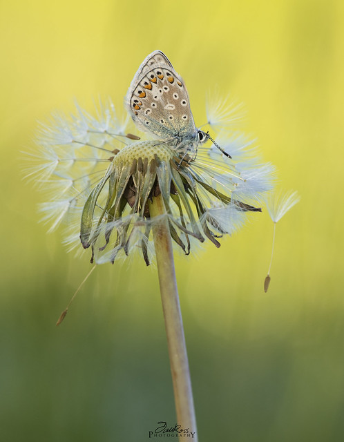 Common Blue (m) roosting on dandelion seed pod, photographed early in the morning.