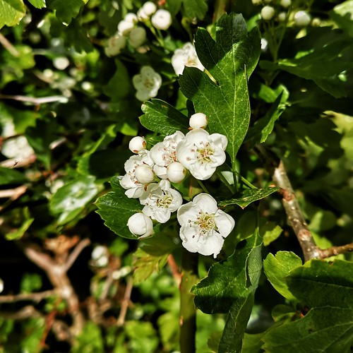 An image of hawthorn blossom.
