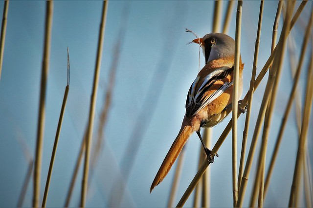 Bearded Tit or Bearded Reedling (Male) Dengemarsh