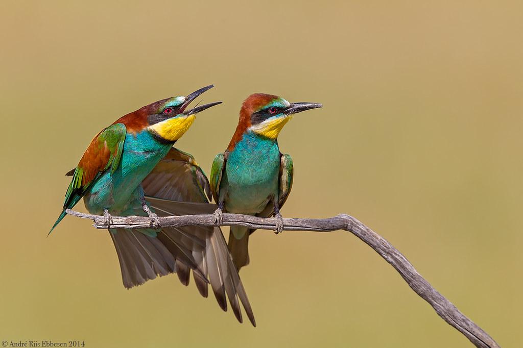 European Bee-eaters La Mancha, Spain