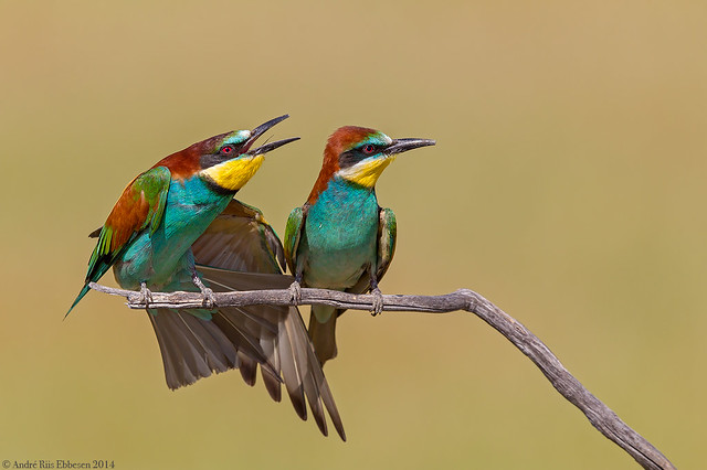 European Bee-eaters La Mancha, Spain