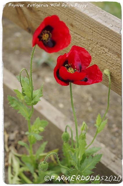 Papaver setigerum 'Wild Opium Poppy'