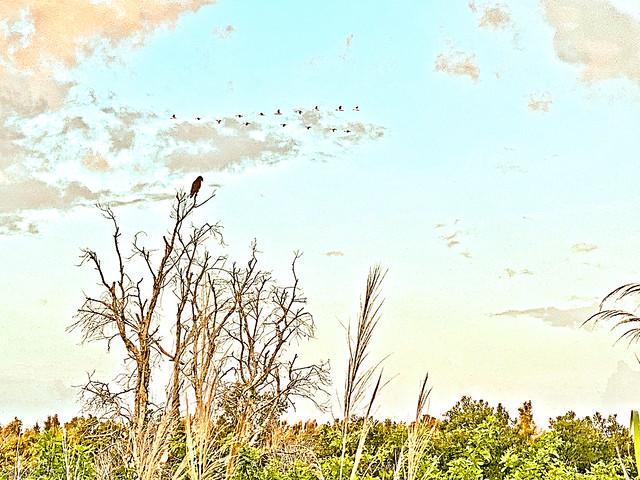 Hawk and ibises 20200522