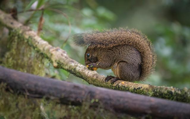 Amazon Dwarf Squirrel