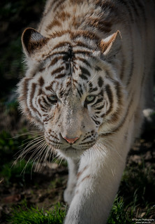 Portrait of a walking white tigress