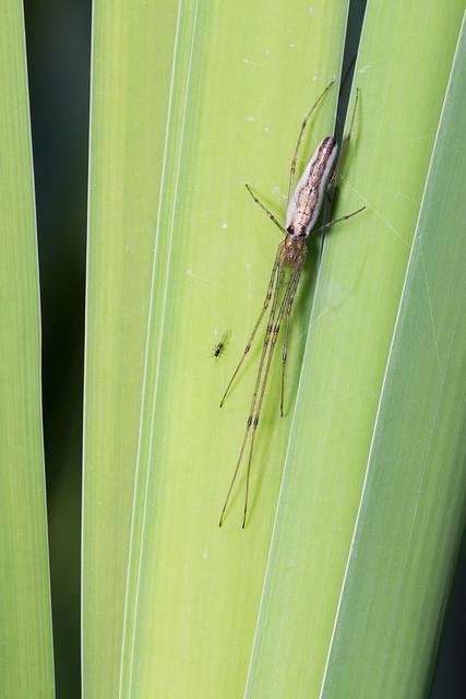 Tetragnatha ssp.