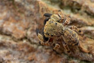 Jumping spider (Junxattus daiqini) - DSC_7032