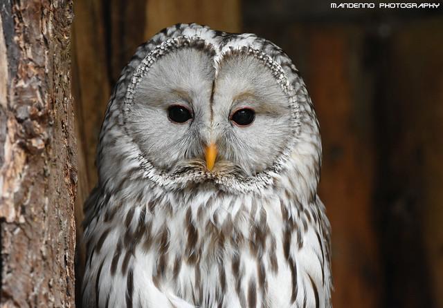 Ural owl - Zoo Veldhoven