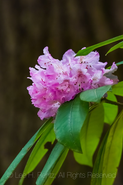 Pacific Rhododendron Blooming in Olympic National Forest