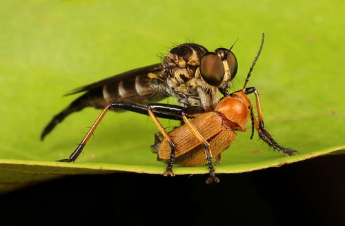 Robber Fly (Asilidae) and Beetle Prey