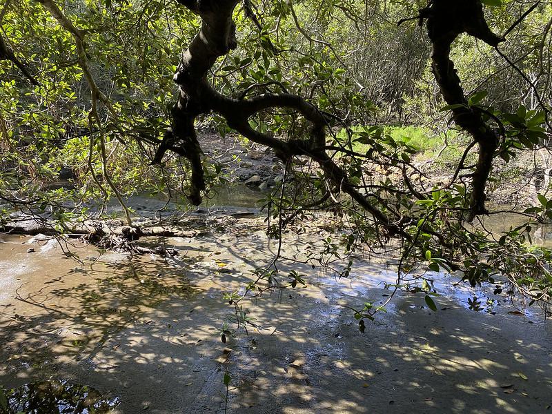 Mangrove mudflats