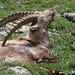 Parco Nazionale del Gran Paradiso Stambecco-9928