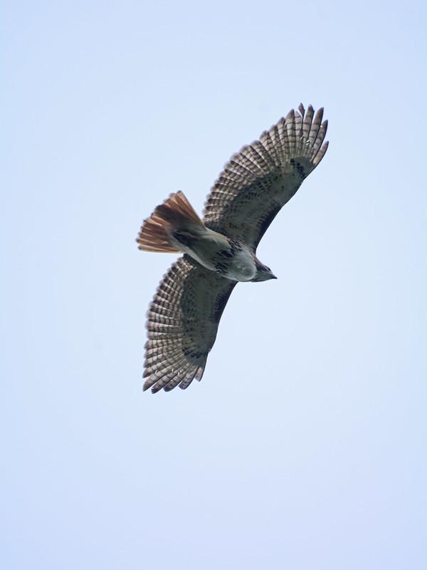 Morningside Hawk - 6056