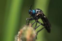 Violet Black-legged Robber Fly (Dioctria atricapilla)