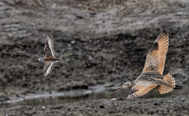 Dunlin and Marbled Godwit-9696-2