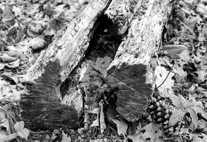 Rotted End of the Log._