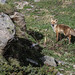 Parco Nazionale del Gran Paradiso Volpe-0060