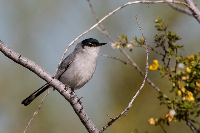 Black-tailed Gnatcatcher (Polyoptila melanura)