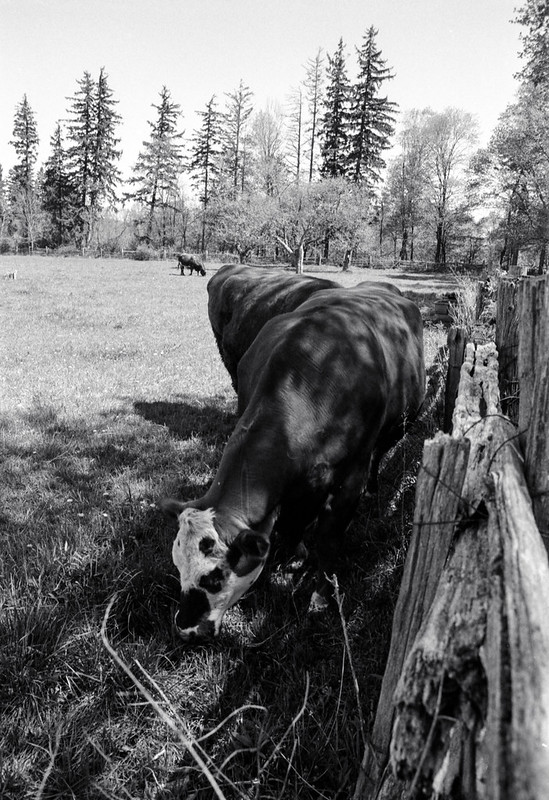 Grazing By the Fence