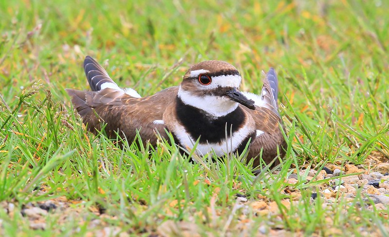 killdeer female nesting at Hayden Prairie State Preserve IA 653A1776