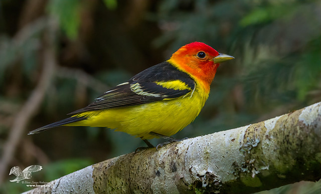 Better Colors (Western Tanager)