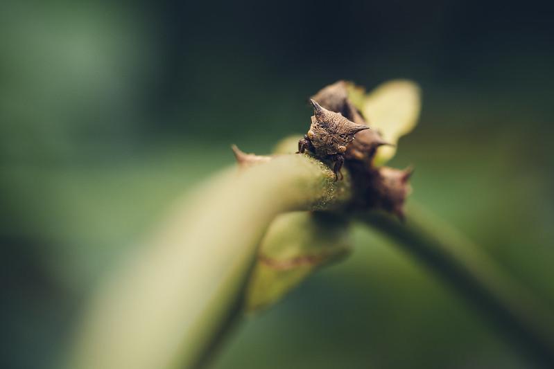 三刺角蟬 Tricentrus sp. 