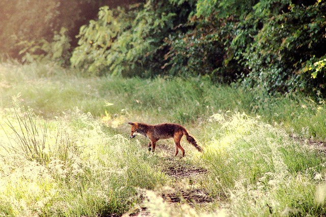 Young fox looking for breakfast