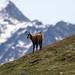 Parco Nazionale del Gran Paradiso Camoscio Chamois Mountain Goat-9952