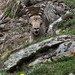 Parco Nazionale del Gran Paradiso - Stambecco - 9942
