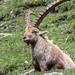 Parco Nazionale del Gran Paradiso Stambecco Bouquetin Alpine Ibex-9927 © Fabrizio Malisan Photography