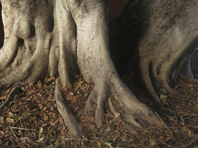 Ficus IMG_6796
