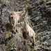 Parco Nazionale del Gran Paradiso Stambecco Femmina Bouquetins Female Alpine Ibex Mountain Goat-9986