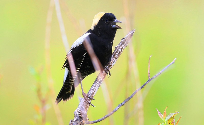 bobolink male at Hayden Prairie State Preserve IA 653A1846