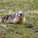 Parco Nazionale del Gran Paradiso Marmotta Marmot Marmotte-0015