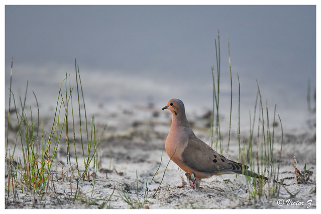 Eared Dove, Lake Mary Florida -186