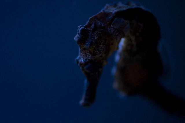 Hippocampus kuda - Estuary Seahorse