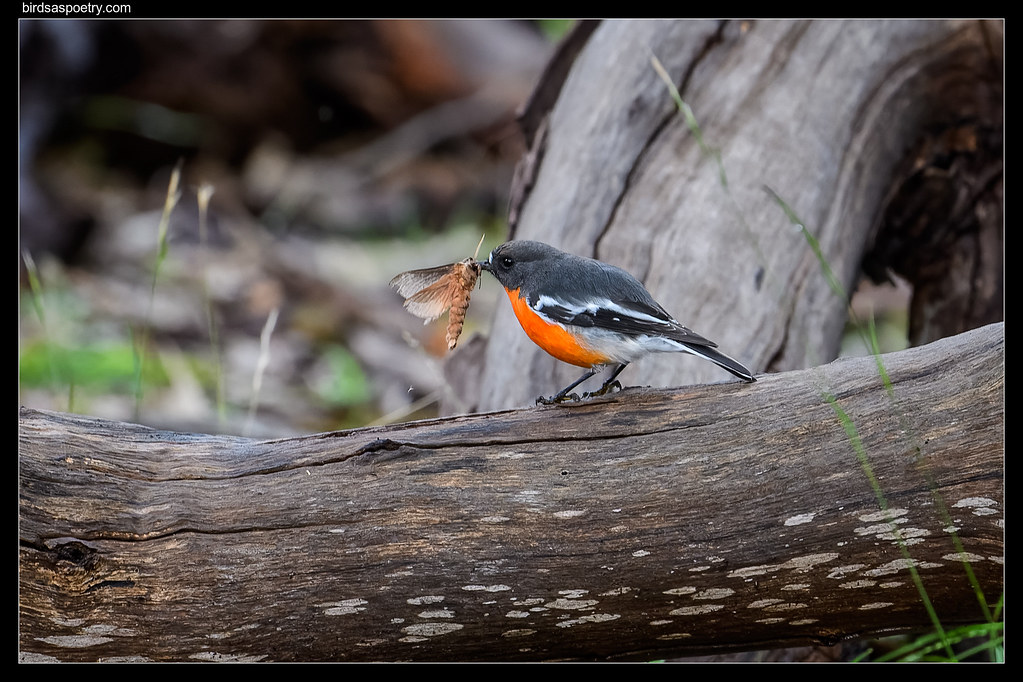 Flame Robin: Lunch is Served