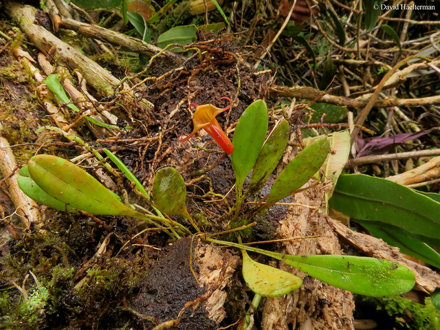 Masdevallia ventricularia flowering in situ on a fallen tree. A species easily grown from temperate warm to cold climate, growing from 1700 to 2500 m asl in Colombia and Ecuador. Valle del Cauca department du, Colombia.