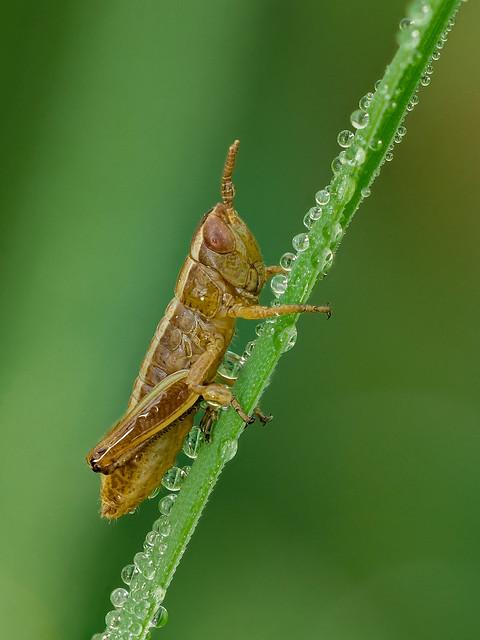 Grashüpfer | Grashopper