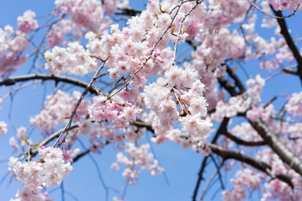 高田の桜と猿まわし 高田城百万人観桜会