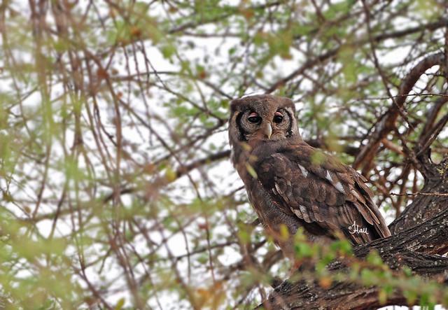 Verreaux's eagle-owl - 7839b2