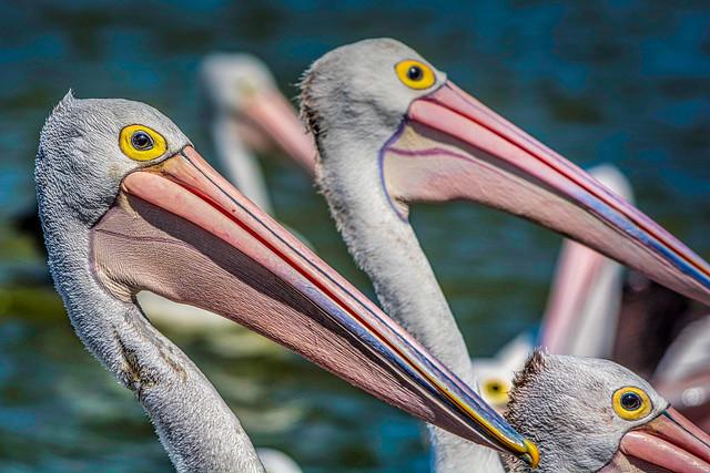 Three Pelican Pals