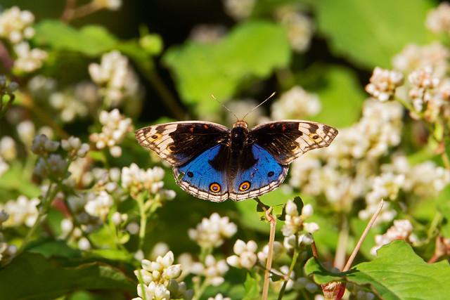 blue pansy (Junonia orithya) - Entopia Butterfly Farm - Teluk Bahang, Penang Island, Malaysia - Feb 2020 - Explored